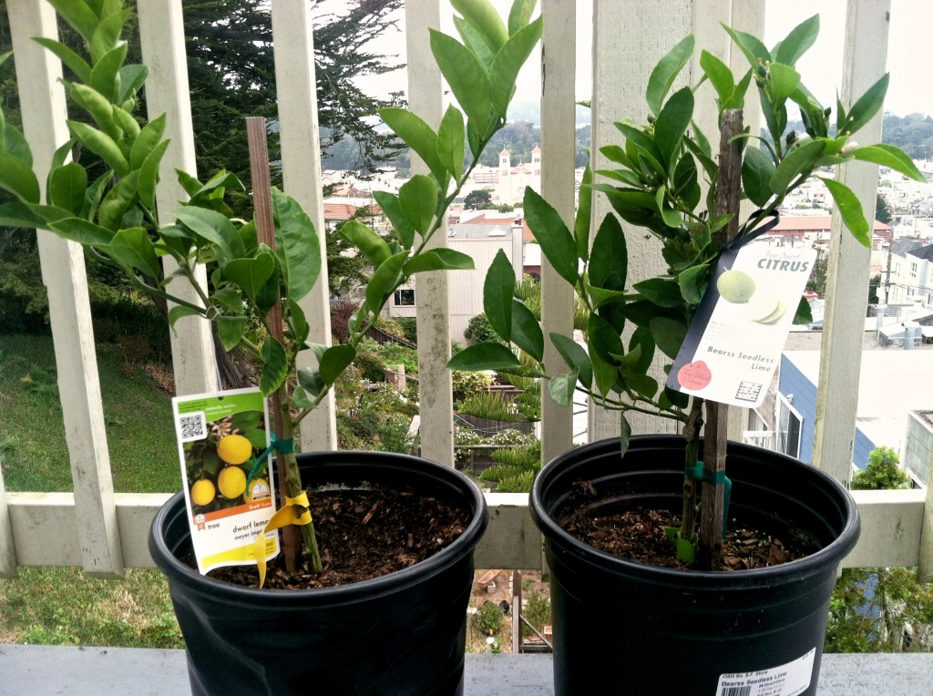 Meyer Lemon Tree and Bearss Seedless Lime Tree