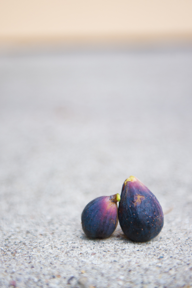 2 Violette de Bordeaux Figs, freshly picked from a potted fig tree.