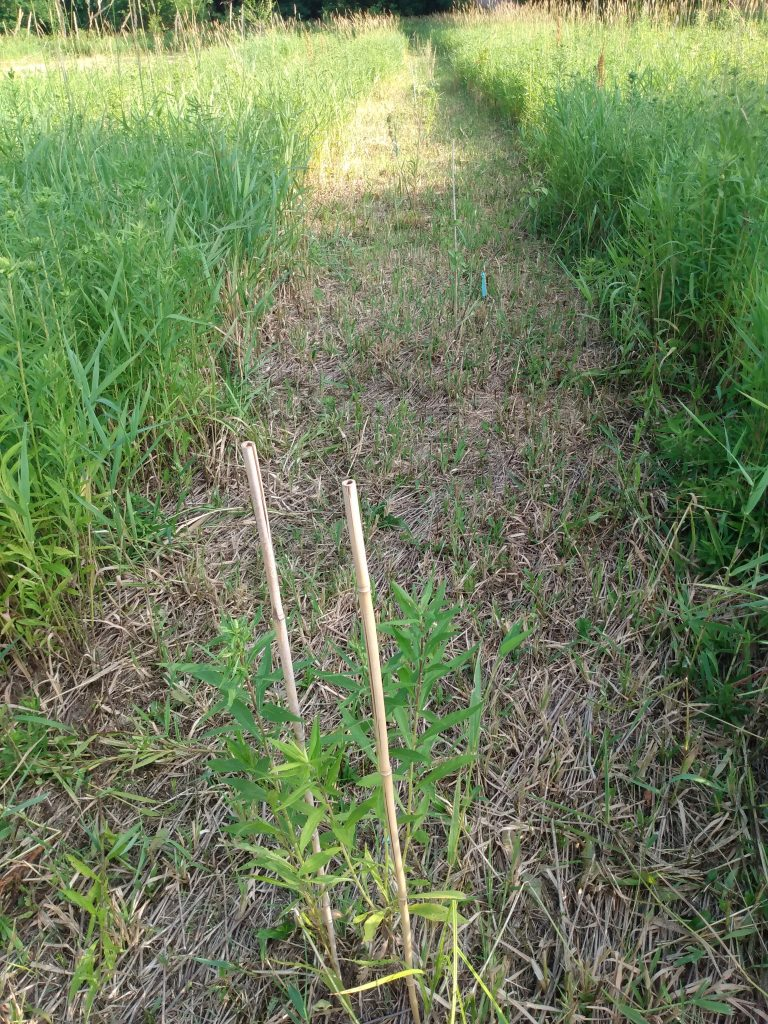 One mowed row in the riparian buffer
