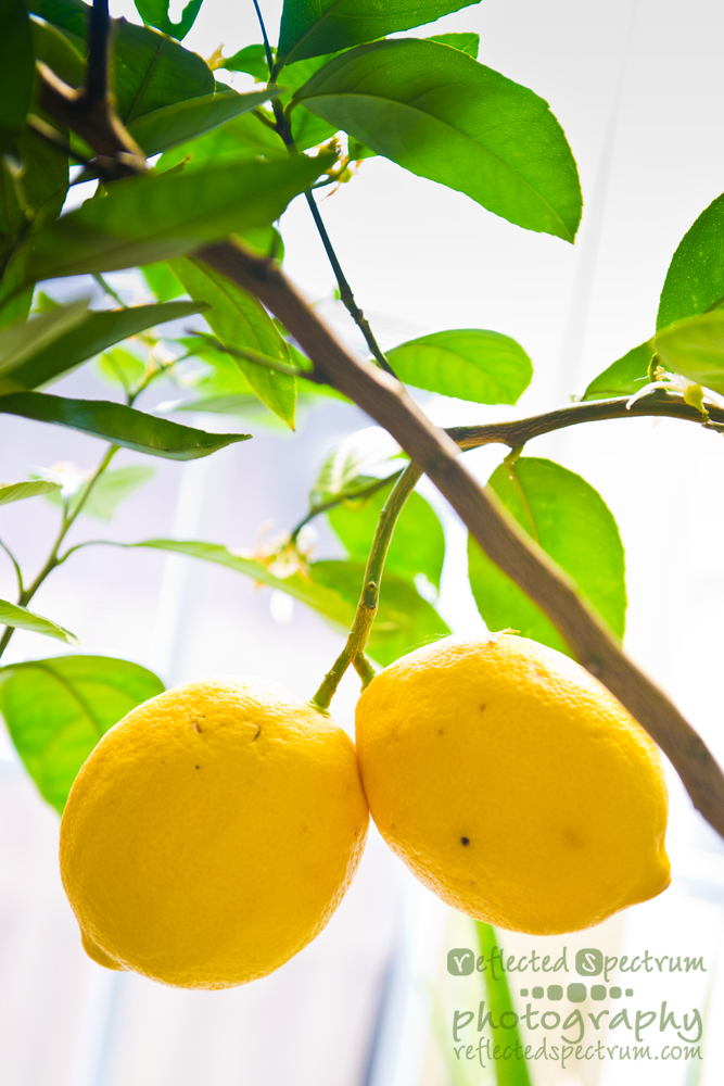 Two ripe Meyer Lemons hanging from an indoor citrus tree