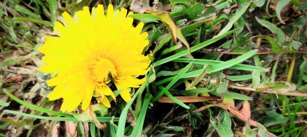 The First Spring Dandelion