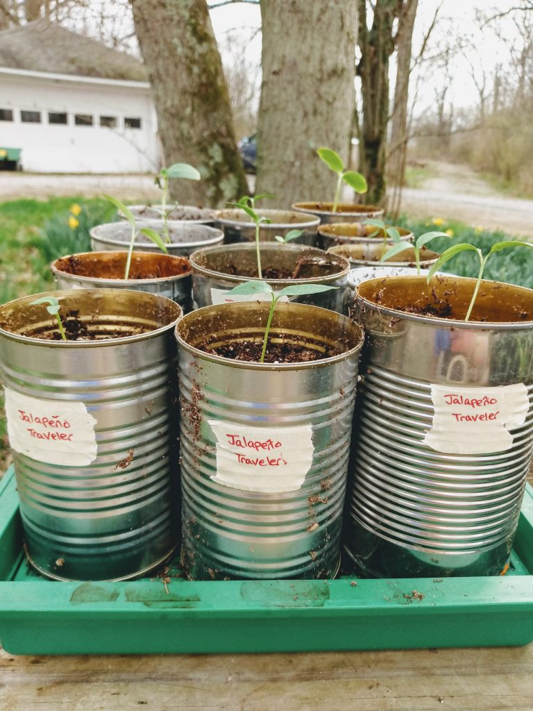 Jalapeno Seedlings Planted Into Recycled Soup Cans