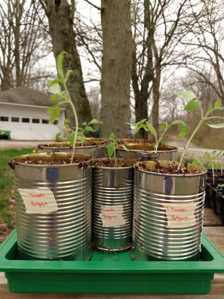 Tomato plants growing in recycled tomato can planters