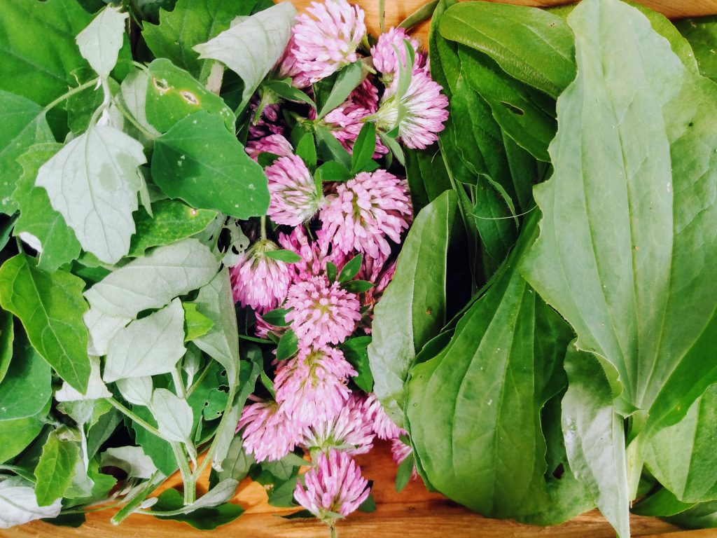 A trio of foraged plants: lambsquarter, red clover, plantain