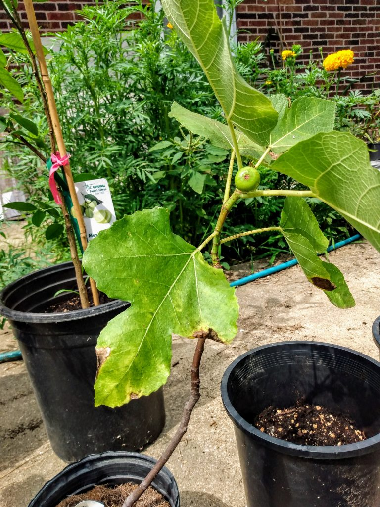 Not Yet A Harvest : Fig Tree Beginning To Flower