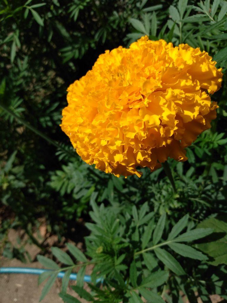 A Visual Feast : Beautiful Marigold Blossom