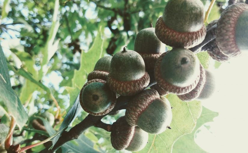 Acorns clustered on an oak tree branch