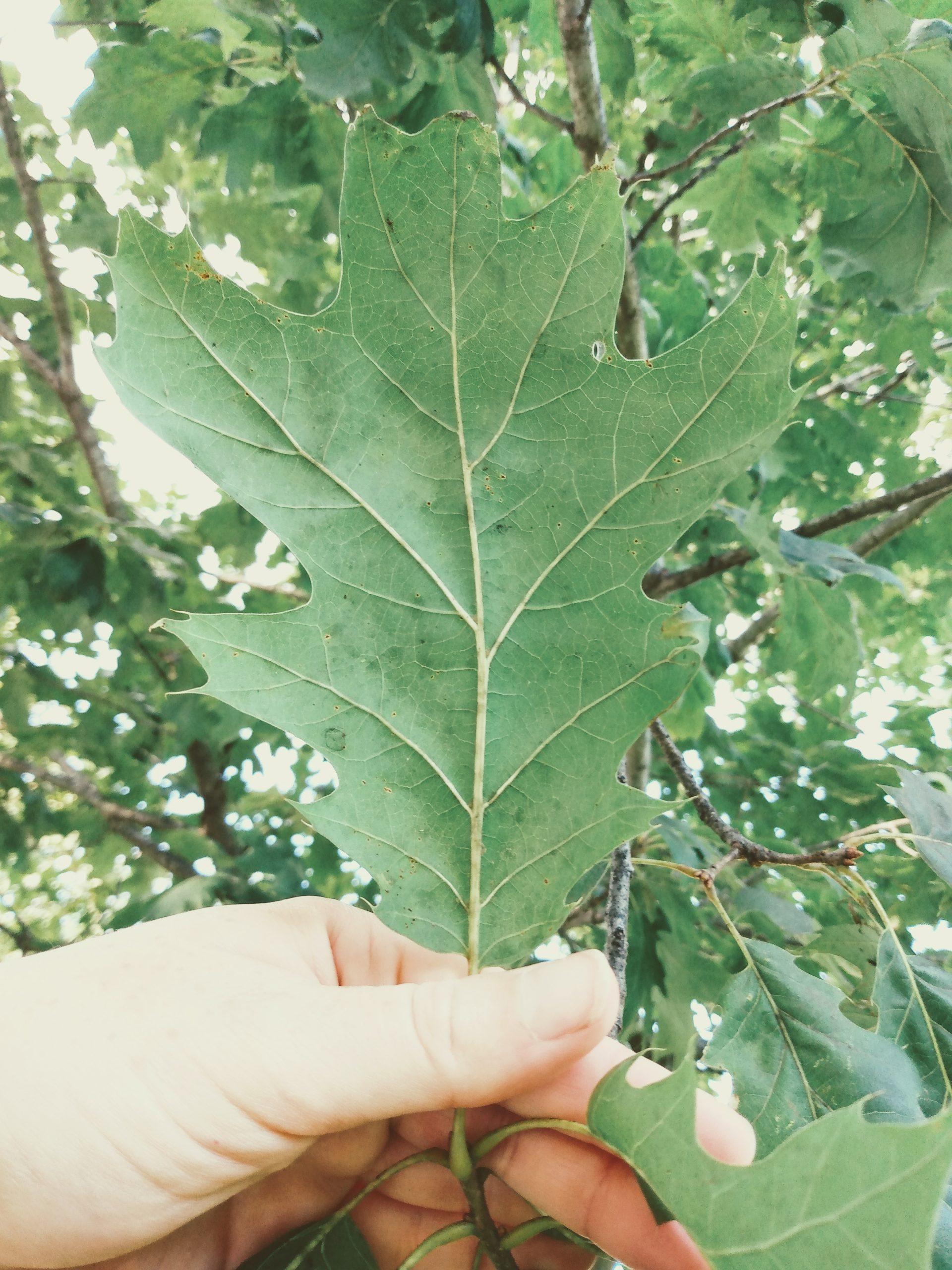 Oak Leaf Veins