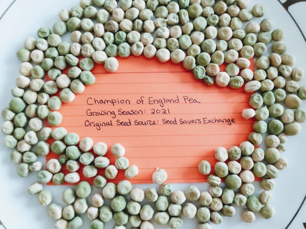 Pea Seeds, Labeled and Ready To Save
